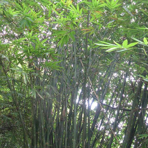 Dendrocalamus peculiaris graines de bambous fr