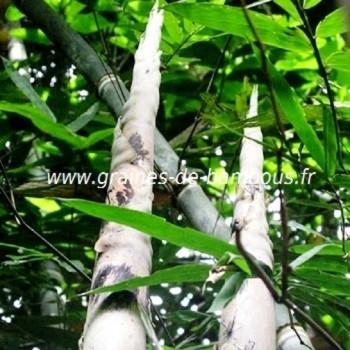 Dendrocalamus semiscandens graines de bambous fr