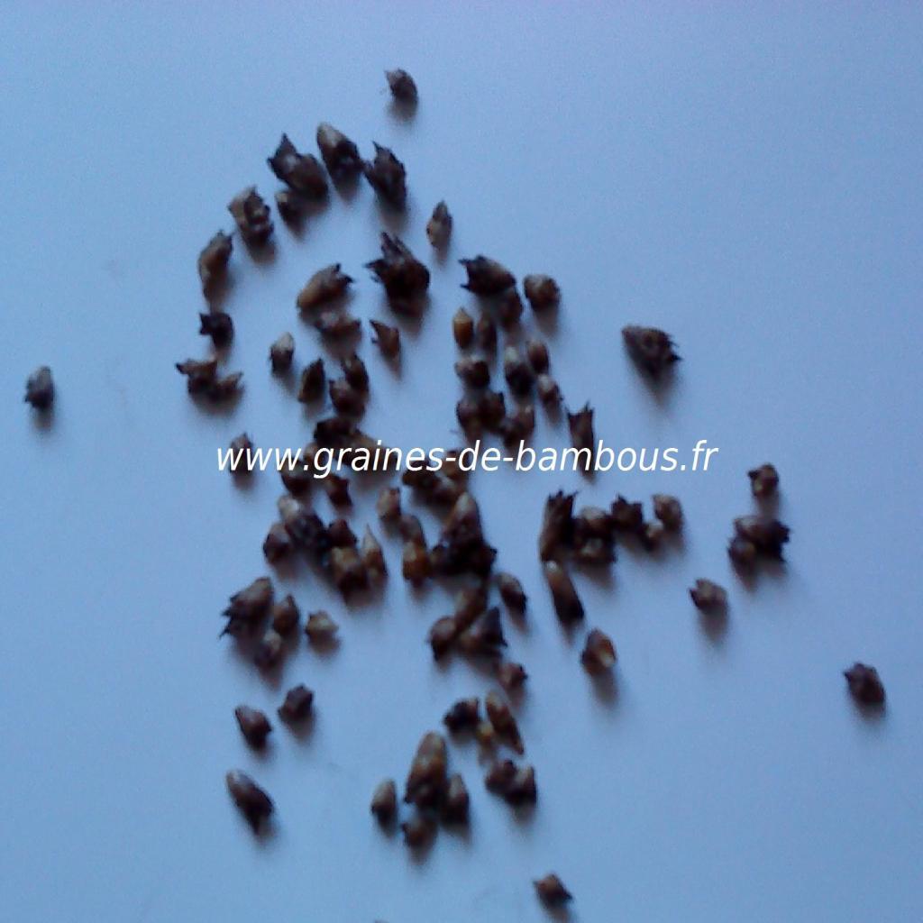 dendrocalamus-semiscandens-graines-www-graines-de-bambous-fr.jpg