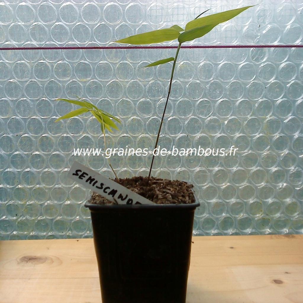 dendrocalamus-semiscandens-petit-plant-www-graines-de-bambous-fr.jpg