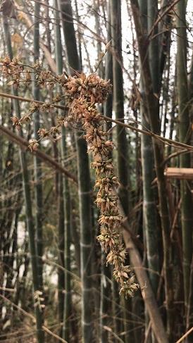 Dendrocalamus sp thai 1