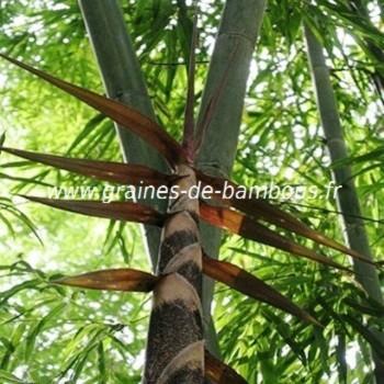 Dendrocalamus strictus graines de bambous fr
