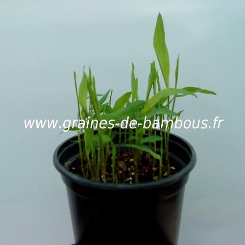 Dendrocalamus strictus semis 100 graines