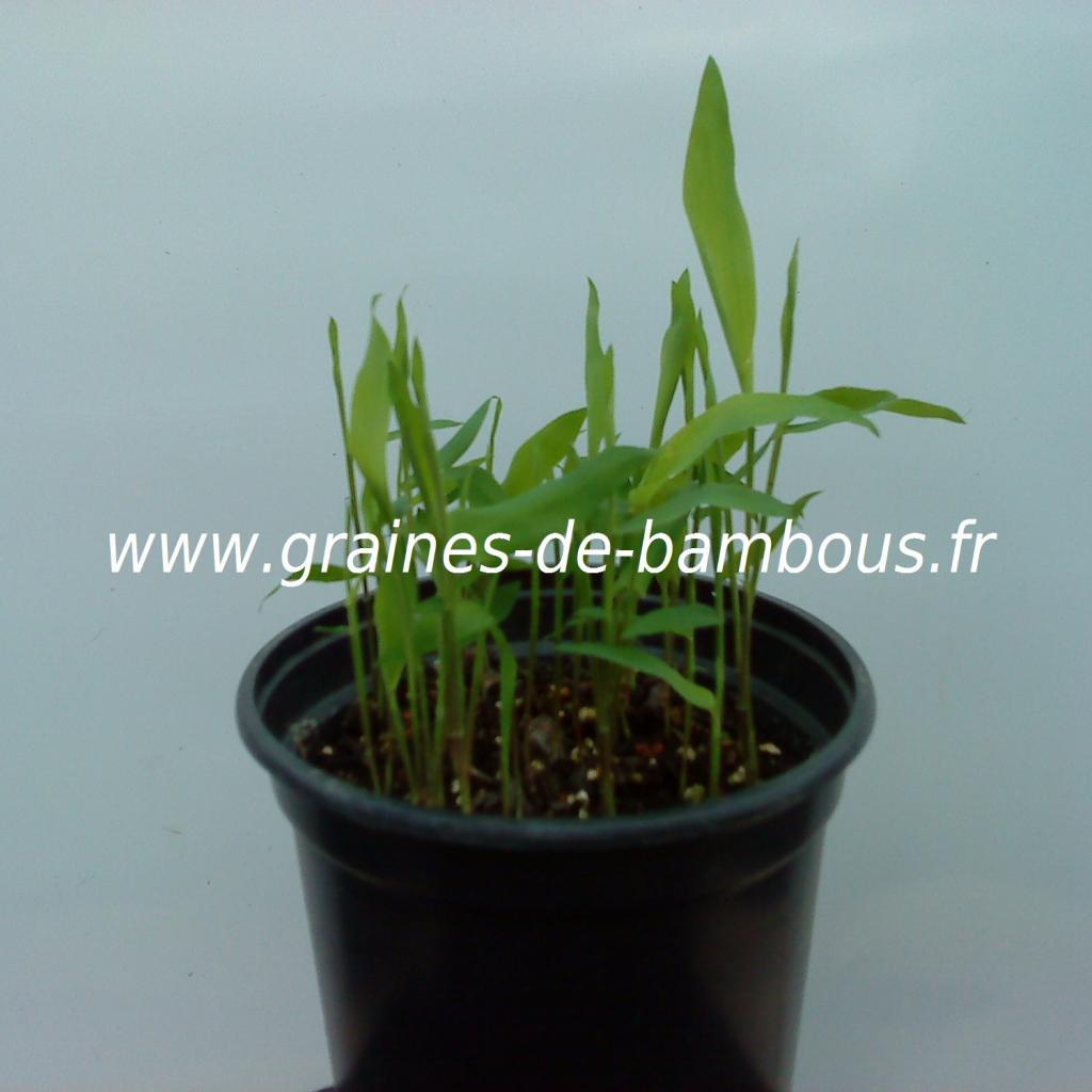 dendrocalamus-strictus-semis-www-graines-de-bambous-fr.jpg