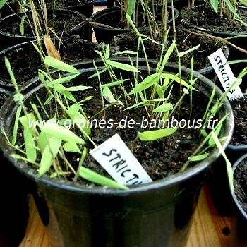 Dendrocalamus strictus semis