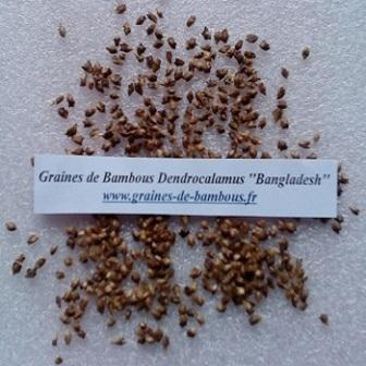 Dendrocalamus bangladesh 20 graines