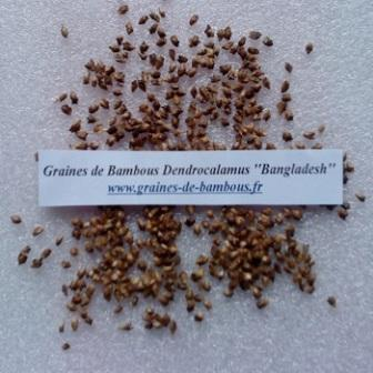 Dendrocalamus bangladesh 50 graines