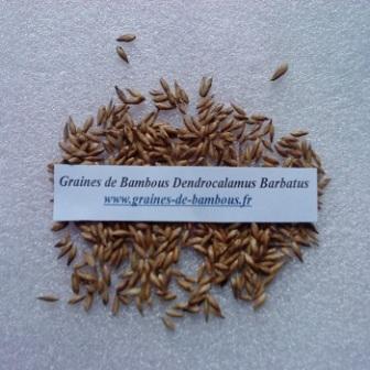 Dendrocalamus barbatus 50 graines