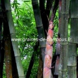 Dendrocalamus barbatus graines de bambous fr