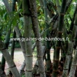 Dendrocalamus barbatus graines giant bamboo