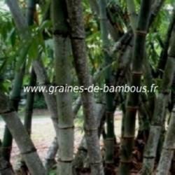 Dendrocalamus Barbatus 20 graines réf.337