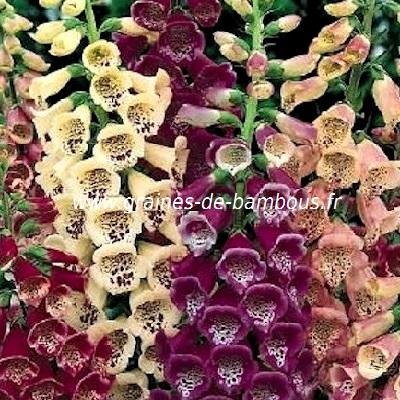 Digitale fleur couleur variee