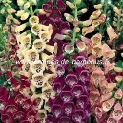 Digitale purpurea couleurs variees graines de bambous fr