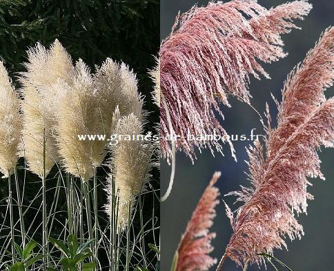Double pampa blanche rose graines de bambous