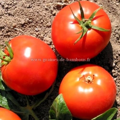 Druzba graines de tomate