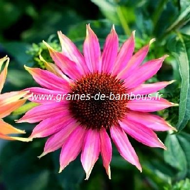 Echinacea purpurea graines de bambous fr