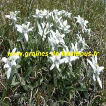 edelweiss-des-alpes-leontopodium-alpinium-graines-de-bambous-fr.jpg