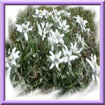 edelweiss-des-alpes-www-graines-de-bambous-fr-www-grainesdebambous-com-2.jpg