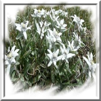 edelweiss-des-alpes-www-graines-de-bambous-fr-www-grainesdebambous-com.jpg