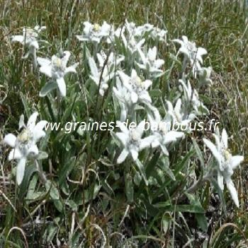 Edelweiss des alpes réf.252