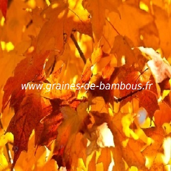 erable-a-sucre-acer-saccharum-www-graines-de-bambous-fr-2.jpg