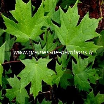 erable-a-sucre-acer-saccharum-www-graines-de-bambous-fr-3.jpg