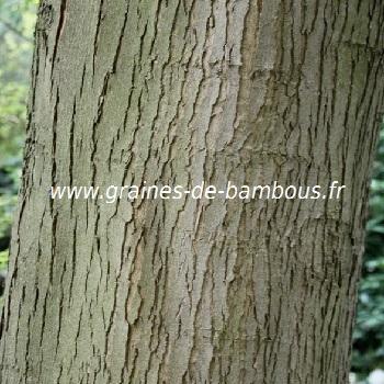 erable-a-sucre-acer-saccharum-www-graines-de-bambous-fr-4.jpg
