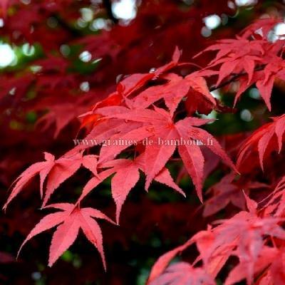 """Erable rouge du Japon """"Atropurpureum"""" réf.55"""