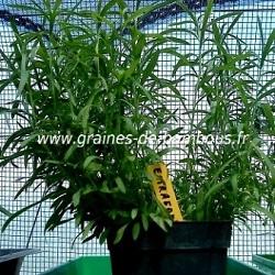 Estragon semis