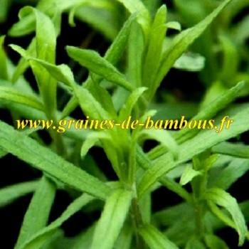 Estragon artemisia dracunculus www graines de bambous fr