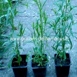 Estragon russe artemisia dracunculus www graines de bambous fr