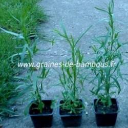Estragon russe www graines de bambous fr