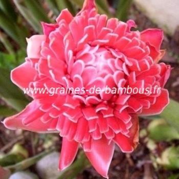 Etlingera eliator rose