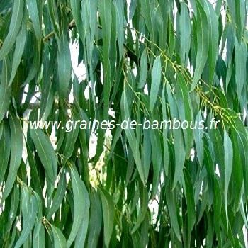Eucalyptus des Neiges réf.23