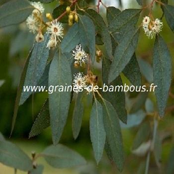 Eucalyptus Gunni super bleu réf.261