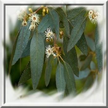 eucalyptus-gunnii-super-blue-www-graines-de-bambous-fr-www-grainesdebambous-com.jpg