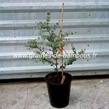 eucalyptus-niphophila-plant-www-graines-de-bambous-fr.jpg