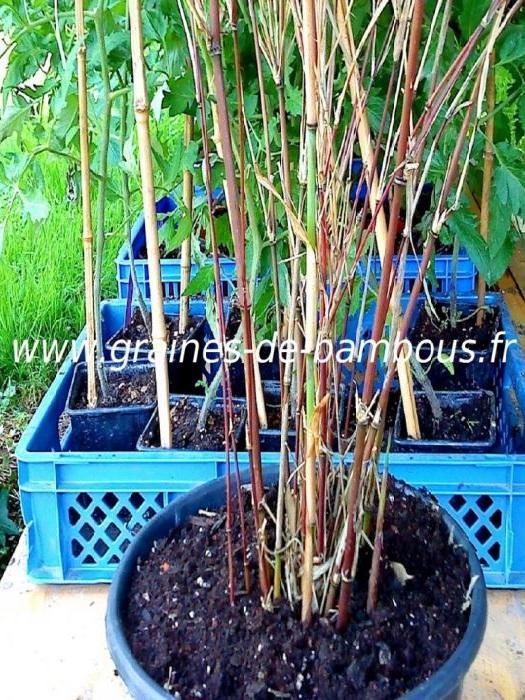 Fargesia albocerea black chaumes 1