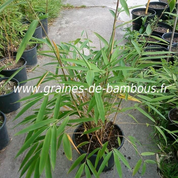 Fargesia gaolinensis bambou en pot