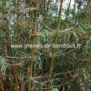 Fargesia gaolinensis graines