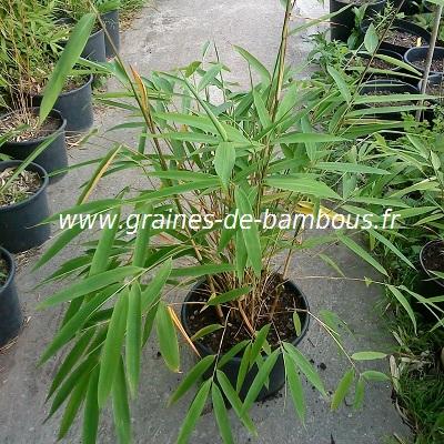 fargesia-gaolinensis-plant-www-graines-de-bambous-fr.jpg