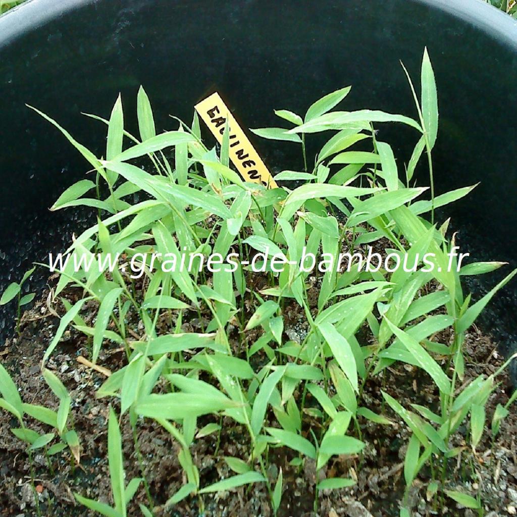 fargesia-gaolinensis-semis-www-graines-de-bambous-fr.jpg