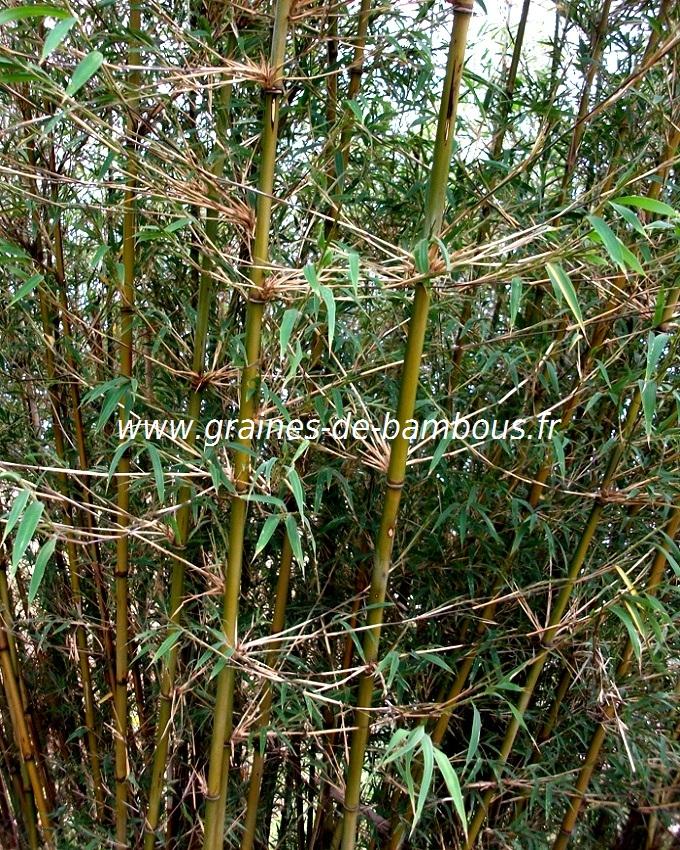 fargesia-gaolinensis-www-graines-de-bambous-fr-2.jpg