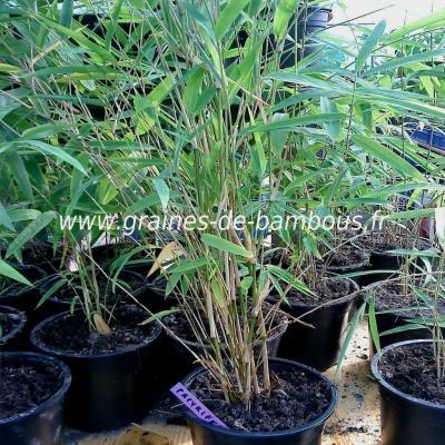 Fargésia sp.Papyrifera 100 graines réf.130b