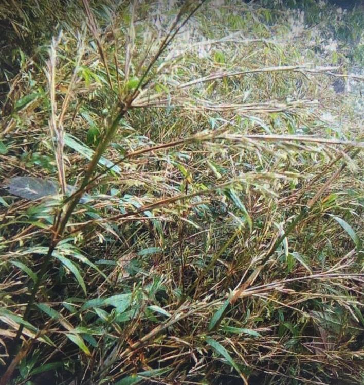 Fargesia southern yunna graines de bambous fr