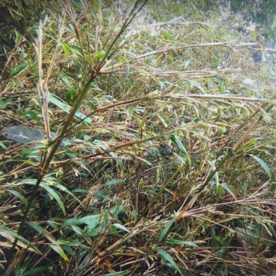 Fargésia Southern Yunnan réf.160