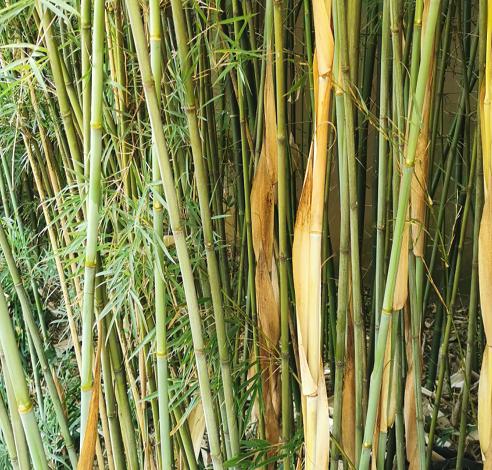 Fargesia sp guizhou graines de bambous fr