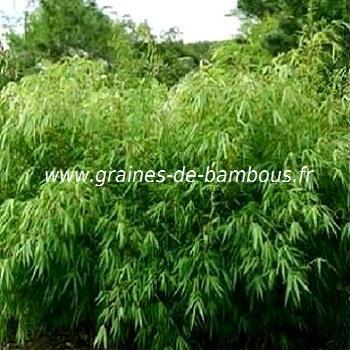Fargésia sp.Fungosa 100 graines réf.140b