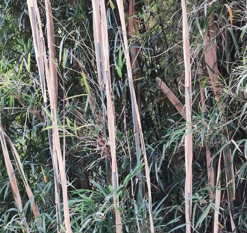 Fargesia sp yunnan graines de bambous fr