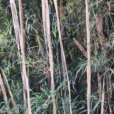 Fargésia Sp. Yunnan Southern réf.160
